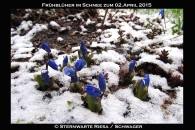 Blausterne im Schnee
