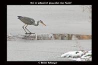 Graureiher am Teich