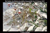 Hagebutten im Schnee